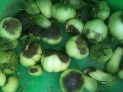 Tomates Q noir