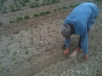 Samuel - haricots semis aux pieds
