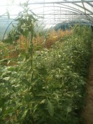 Purin sur tomates