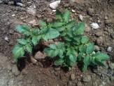 Plant de pdt après pulvérisation de purin