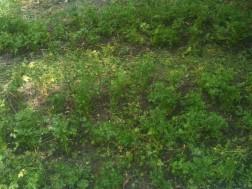 Binage-désherbage du persil