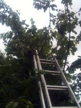 Récolte de cerises jaunes