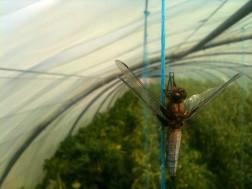 Chrysalide de libellule