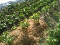 Mulch sur poivrons