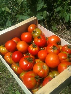 Récolte premières tomates - juillet