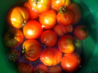 Récolte des tomates