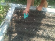 Semis - radis blancs - semoir à main