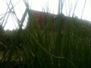 Ciboulette Jungle