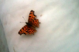 Butterfly du voile blanc