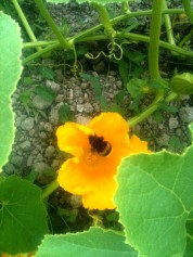 Pollinisateur