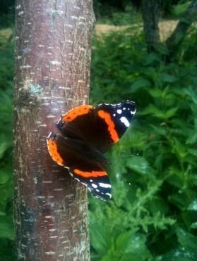 Butterfly du cerisier