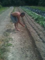 Semis au semoir à main de radis blanc
