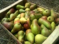 Cueillette des poires