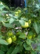 Tomates St Pierre