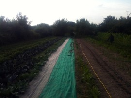 Semis radis blanc et noir, navet, poireau