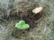 Rhubarbe dans son mulch
