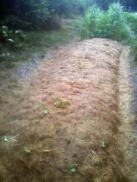 Buttes - plantation de rhubarbesButtes - plantation de rhubarbes