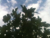 Figuier dans le ciel