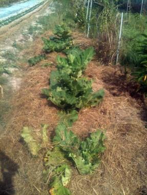 Mulchage des rhubarbes