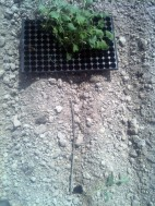Savez vous planter des choux ?