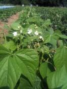 Plant de haricot