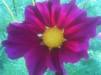 Fleur de Cosmos