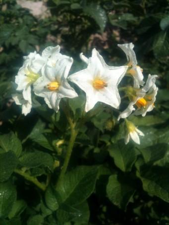 Fleurs de pdt