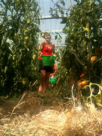 Amandine - récolte des tomates