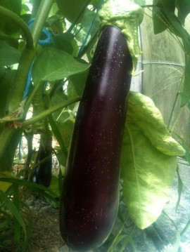 Une bien belle aubergine