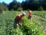 Joseph et Amandine - récolte des haricots