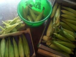 Récolte maïs doux