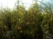 Serre tomates - août