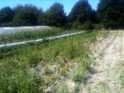 Champs de pdt avant récolte