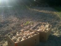 Conditionnement des pommes de terre
