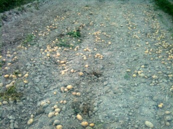 Ramassage des pommes de terre