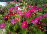 Fleurs de Cosmos - août