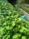 Arrosage radis