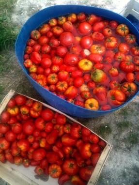 Tomates au bain