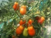 Tomates Roma