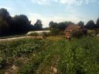 Amandine à la récolte des haricots