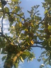 Cueillette des prunes