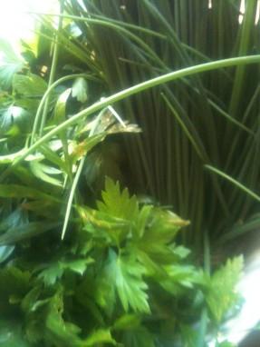 Ciboulette & persil plat