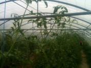 Taille des gourmands de tomates