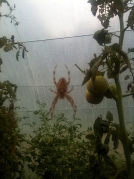 Araignée entre les plants de tomates