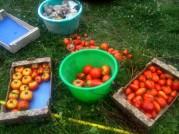 Récoltes tomates