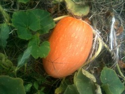 Grosse courge