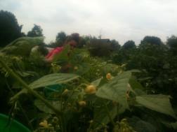 Amandine à la cueillette des haricots