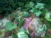 Mulch de rhubarbe après récolte
