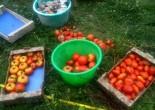 Cueillette tomates