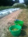 Plantation et repiquage des navets
